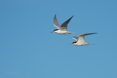 Roseate Tern, Lady Elliot Island, QLD, Dec 2015-7
