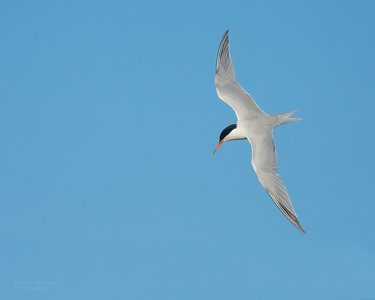 Roseate Tern, Lady Elliot Island, QLD, Dec 2015-17