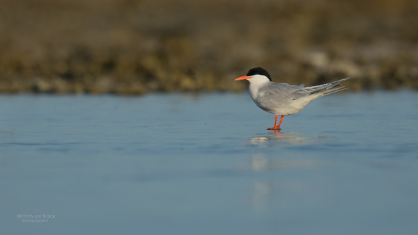 Roseate Tern, Lady Elliot Island, QLD, Dec 2015-4