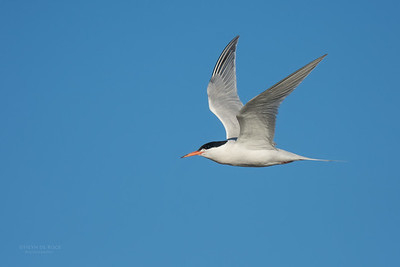 Roseate Tern, Lady Elliot Island, QLD, Dec 2015-14
