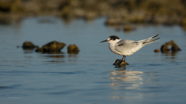 Roseate Tern, Lady Elliot Island, QLD, Dec 2015-3