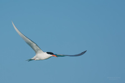 Roseate Tern, Lady Elliot Island, QLD, Dec 2015-9