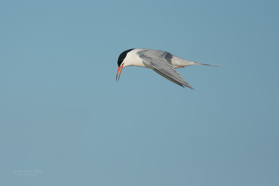 Roseate Tern, Lady Elliot Island, QLD, Dec 2015-13
