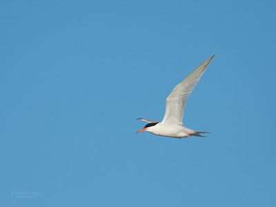 Roseate Tern, Lady Elliot Island, QLD, Dec 2015-16