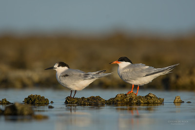 Roseate Tern, Lady Elliot Island, QLD, Dec 2015-2