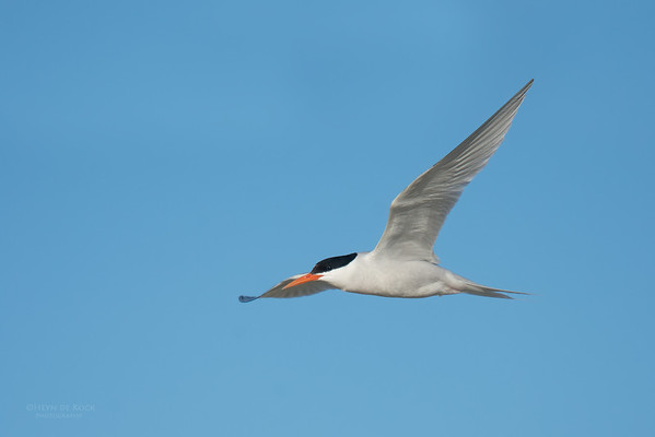 Roseate Tern, Lady Elliot Island, QLD, Dec 2015-20
