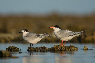 Roseate Tern, Lady Elliot Island, QLD, Dec 2015-1