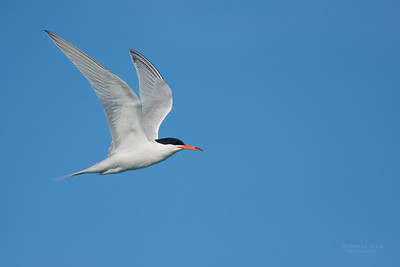 Roseate Tern, Lady Elliot Island, QLD, Dec 2015-8