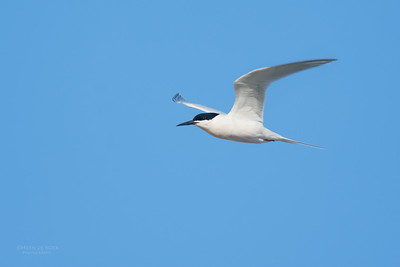 Roseate Tern, Lady Elliot Island, QLD, Dec 2015