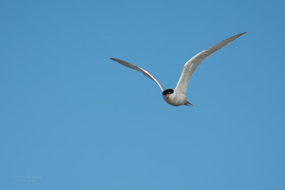 Roseate Tern, Lady Elliot Island, QLD, Dec 2015-21