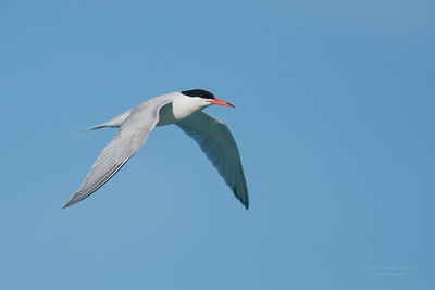 Roseate Tern, Lady Elliot Island, QLD, Dec 2015-10