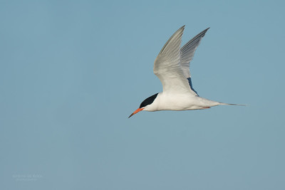 Roseate Tern, Lady Elliot Island, QLD, Dec 2015-12