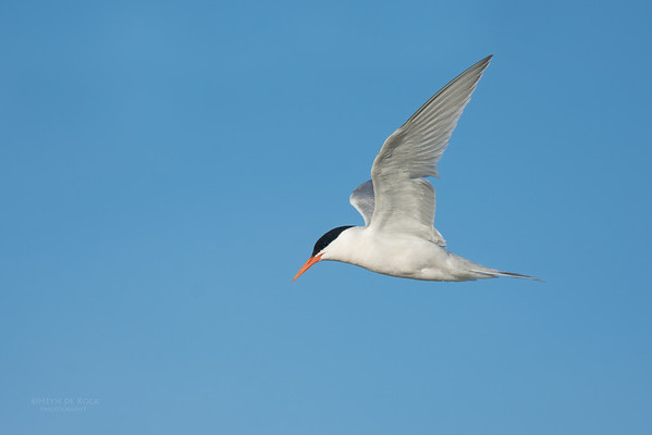 Roseate Tern, Lady Elliot Island, QLD, Dec 2015-15