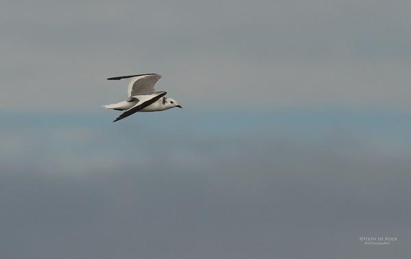 Sabine's Gull, Cape Town Pelagic, WC, SA, Jan 2014