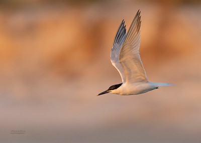 Sandwich Tern, Fort De Soto, St Petersburg, FL, USA, May 2018-6