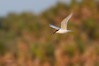 Sandwich Tern, Fort De Soto, St Petersburg, FL, USA, May 2018-2