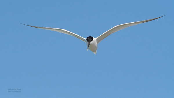 Sandwich Tern, Fort De Soto, St Petersburg, FL, USA, May 2018-1