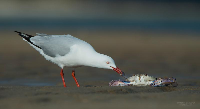 Silver Gull, Lake Woollumbulla, NSW, Aug 2013