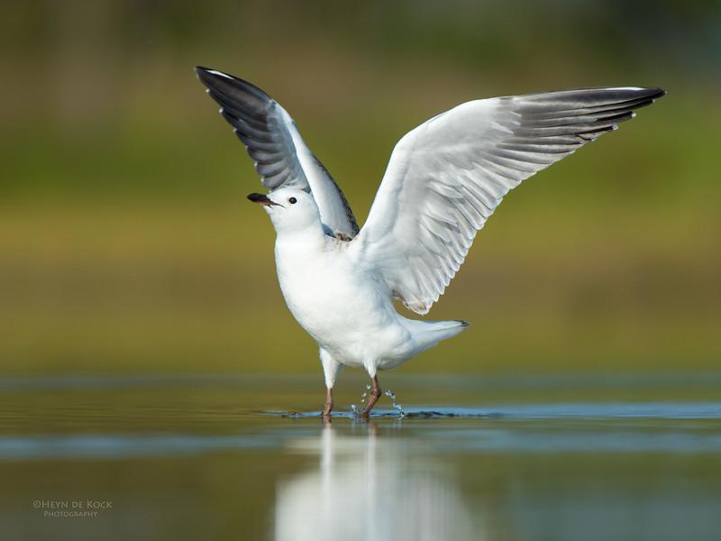 Silver Gull, imm, Lake Wollumboola, NSW, Nov 2014-1