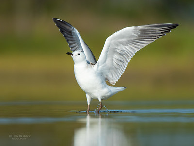 Silver Gull, imm, Lake Wollumboola, NSW, Nov 2014-1