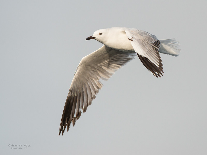 Silver Gull, imm, Wollongong Pelagic, NSW, Aus, Aug 2014