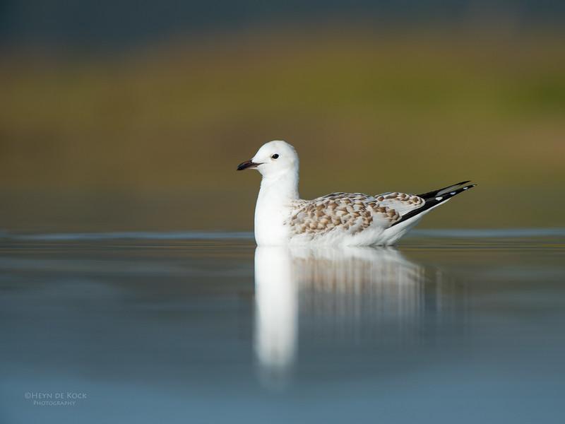 Silver Gull, imm, Lake Wollumboola, NSW, Nov 2014-3