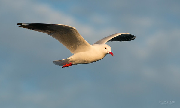 Silver Gull, Wollongong, NSW, Aus, Jul 2013-2