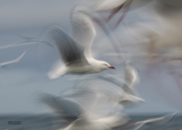 Silver Gull, Wollongong Pelagic, Jun 2012
