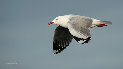 Silver Gull, Wollongong Pelagic, NSW, Aus, Aug 2014-1