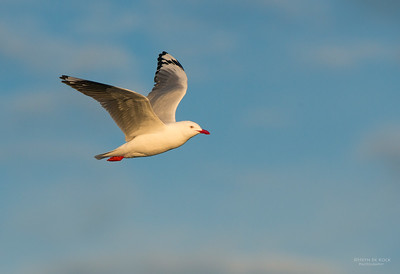Silver Gull, Wollongong, NSW, Aus, Jul 2013