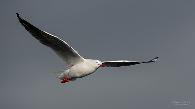 Silver Gull, Wollongong Pelagic, NSW, Aus, Aug 2014