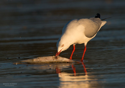 Silver Gull, Hastings Point, NSW, Aus, Jun 2013