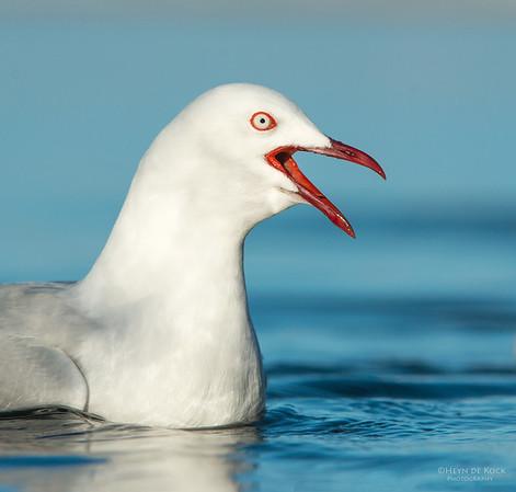 Silver Gull, Bellambi Lagoon, NSW, Aus, Jun 2013-1