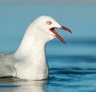 Silver Gull, Bellambi Lagoon, NSW, Aus, Jun 2013-1