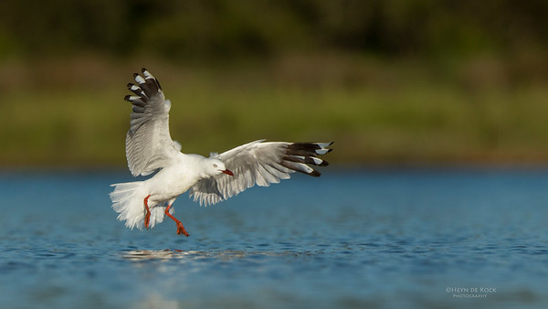 Silver Gull, Lake Wollumboola, NSW, Jan 2015-2