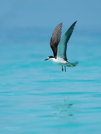 Sooty Tern, Michaelmas Cay, QLD, Dec 2014-1