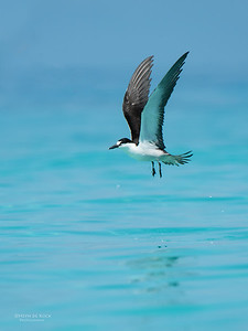 Sooty Tern, Michaelmas Cay, QLD, Dec 2014-1