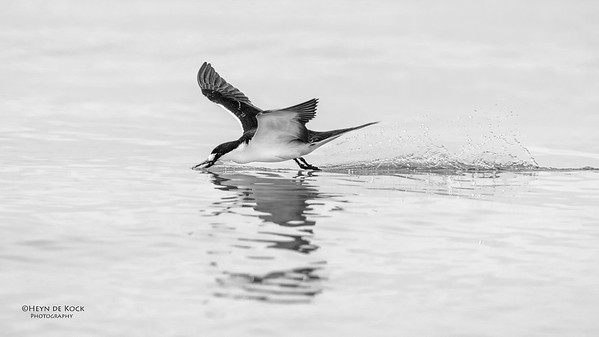 Sooty Tern, Michaelmas Cay, QLD, Dec 2014