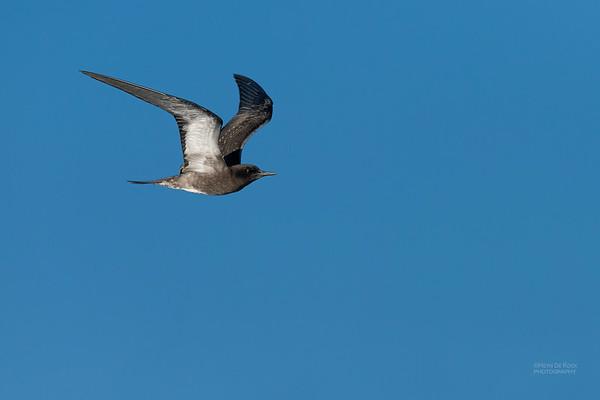 Sooty Tern, juv, SE QLD Seamounts, Oct 2020-1