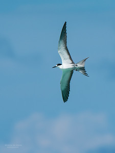 Sooty Tern, Michaelmas Cay, QLD, Dec 2014-9