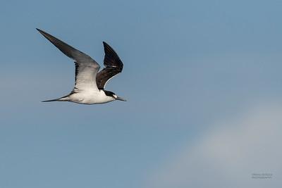 Sooty Tern, SEQ Seamounts, Oct 2020-1