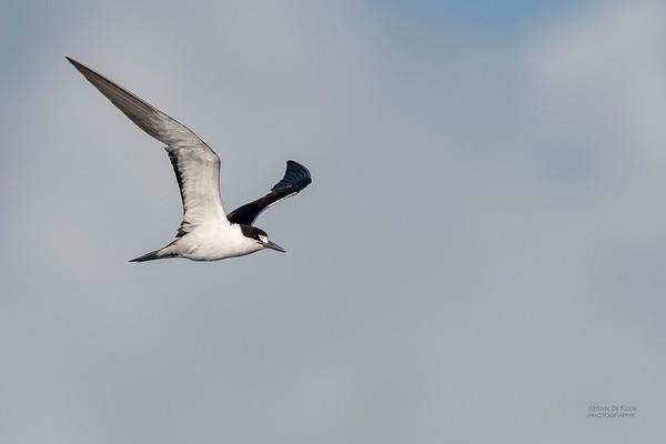 Sooty Tern, SEQ Seamounts, Oct 2020-3