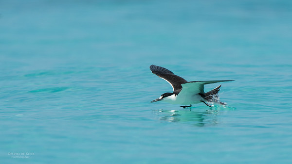 Sooty Tern, Michaelmas Cay, QLD, Dec 2014-2