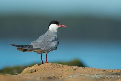 Whiskered Tern, Lake Wollumboola, NSW, Jan 2015-1