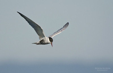 Whiskered Tern, Lake Claredon, QLD, Aus, Nov 2011-1