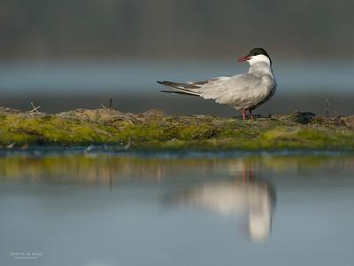Whiskered Tern, Lake Wolumboola, NSW, Aus, Nov 2013-1