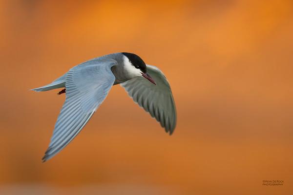 Whiskered Tern, Lake Cargelligo, NSW, Aus, Oct 2018-1