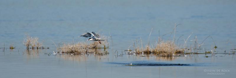 Whiskered Tern, Lake Claredon, QLD, Aus, Nov 2011-2