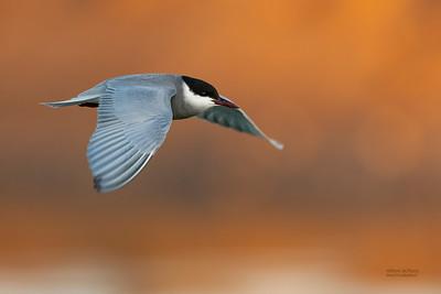Whiskered Tern, Lake Cargelligo, NSW, Aus, Oct 2018-3
