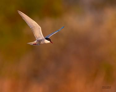 Whiskered Tern, Lake Cargelligo, NSW, Aus, Oct 2018-4